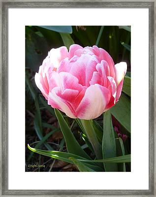 Resplendent Cherry Pink Tulip Framed Print by Lingfai Leung