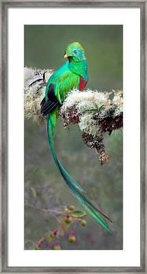 Resplendent Quetzal Pharomachrus Framed Print by Panoramic Images