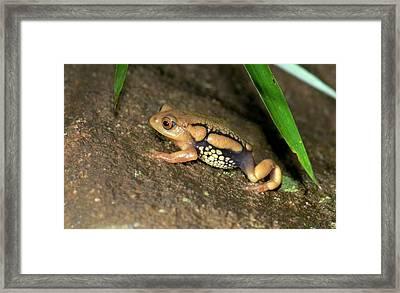 Resplendent Shrubfrog Framed Print