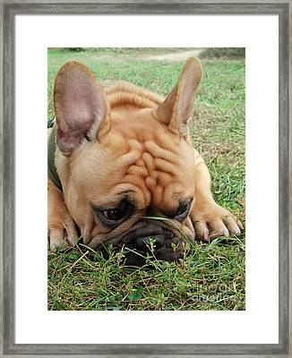 Rest- French Bulldog Framed Print