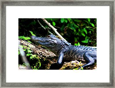 Resting Alligator  Framed Print
