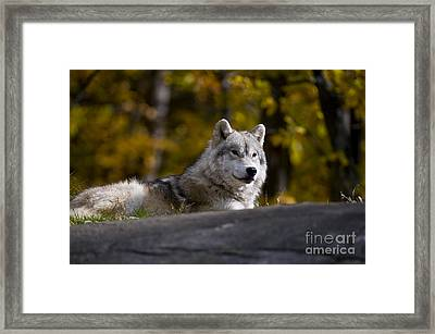 Framed Print featuring the photograph Resting Arctic Wolf On Rocks by Wolves Only