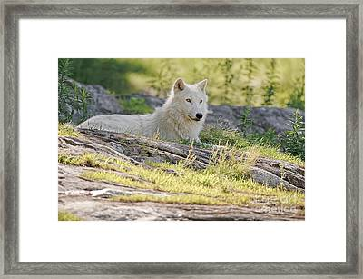 Framed Print featuring the photograph Resting Arctic Wolf by Wolves Only