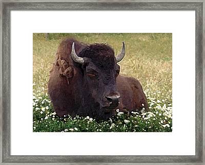 Resting Bison Framed Print by Michele Avanti