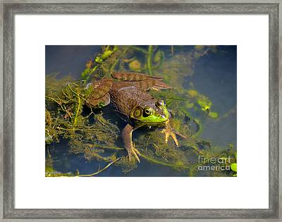 Resting Bronze Frog Framed Print by Kathy Baccari