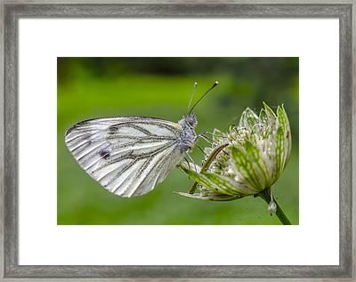 Resting Butterfly Framed Print by Adam Budziarek