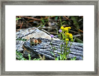 Resting Chipmunk  Framed Print by Rebecca Adams