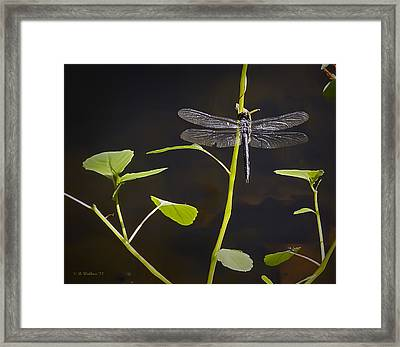 Resting Dragon Framed Print by Brian Wallace