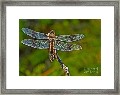 Resting Dragonfly Framed Print by Robert Bales