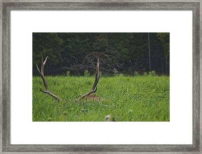 Resting Elk Framed Print