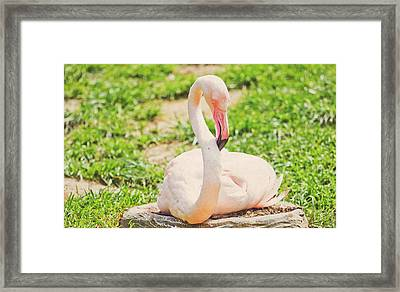 Resting Flamingo Framed Print by Pati Photography