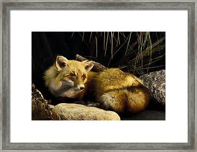 Resting Fox Framed Print