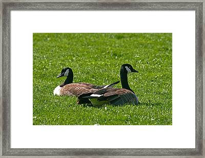 Resting Geese Framed Print by John Holloway