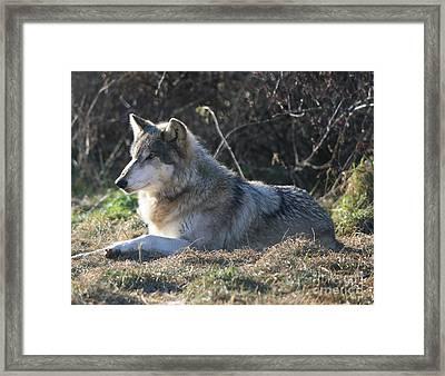 Resting Gray Wolf Framed Print
