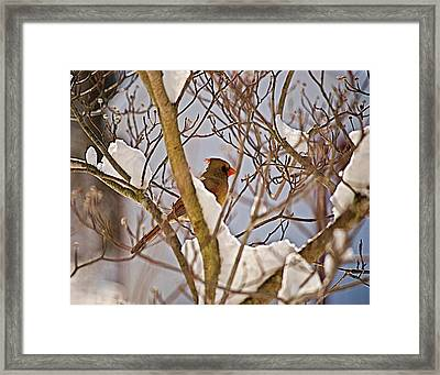 Resting In Snow Wil 324 Framed Print