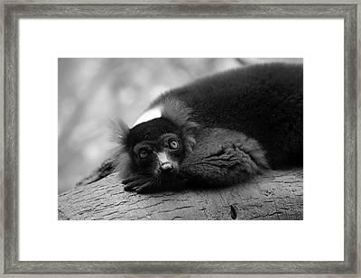 Resting Lemur Framed Print by Karol Livote