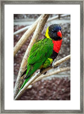 Framed Print featuring the photograph Resting Lory by Sennie Pierson