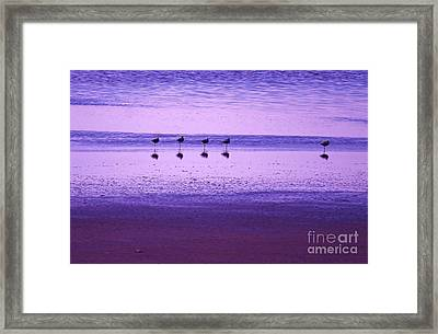 Avocets Resting In The Sunset Framed Print by Michele Penner