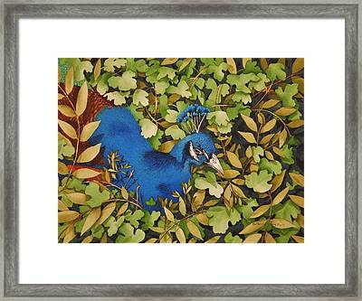 Resting Peacock Framed Print by Katherine Young-Beck