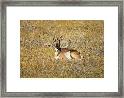 Resting Pronghorn Framed Print by Sarah Crites