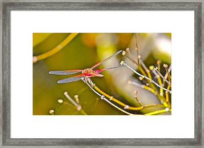 Resting Red Dragonfly Framed Print by Cyril Maza
