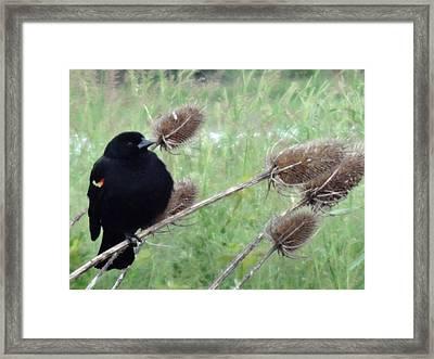 Resting Red-winged Blackbird  Framed Print by Lizbeth Bostrom