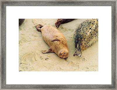 Framed Print featuring the photograph Resting Seal by Kathy Bassett