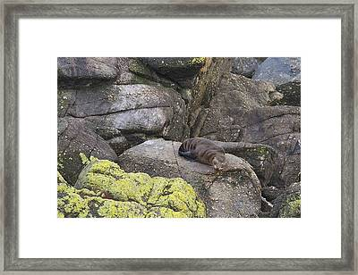 Framed Print featuring the photograph Resting Seal by Stuart Litoff