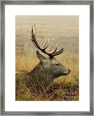 Resting Stag Framed Print
