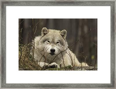 Resting Wolf Framed Print