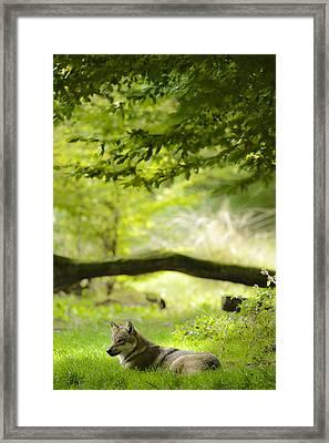 Resting Wolfe Framed Print by Andy-Kim Moeller