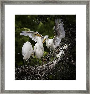 Restless Teenage Egrets Framed Print