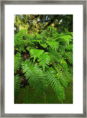 Resurrection Fern, Pleopeltis Framed Print