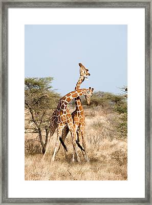 Reticulated Giraffes Giraffa Framed Print by Panoramic Images