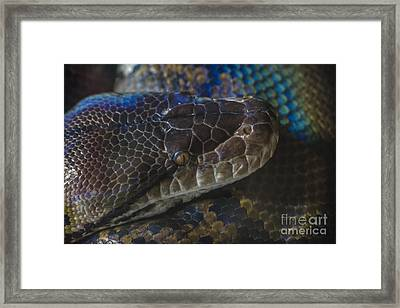 Reticulated Python With Rainbow Scales Framed Print