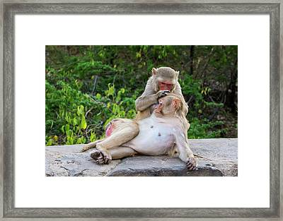 Rhesus Monkeys Grooming Framed Print