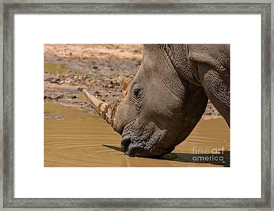 Rhino Drinking Framed Print