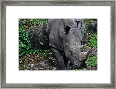 Rhino Framed Print by Rachael M