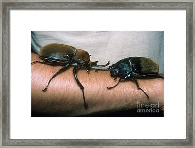 Rhinoceros Beetles Framed Print by Gregory G. Dimijian, M.D.