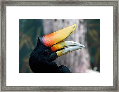 Rhinoceros Hornbill  Framed Print