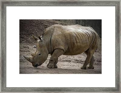 Rhinoceros Framed Print by Svetlana Sewell