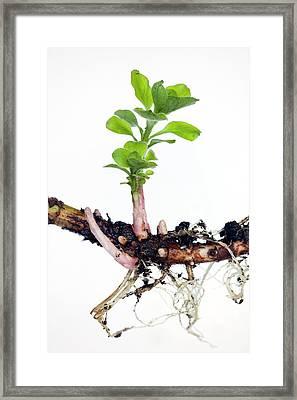 Rhizome Of Lysimachia Punctata Framed Print by Dr Jeremy Burgess