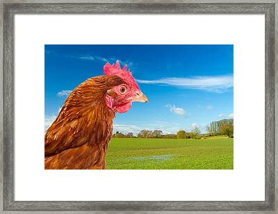 Rhode Island Red Chicken In A Green Field With A Bright Blue Sky Framed Print