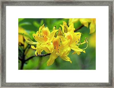 Rhodendron Luteum Flowers Framed Print by Adrian Thomas