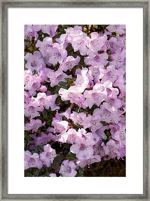 Rhodendron Permakoense Flowers Framed Print by Adrian Thomas
