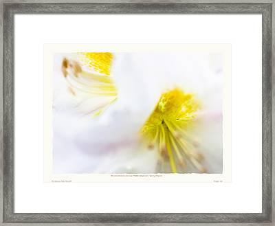 Rhodendron 'walter Maynard' - Spring Flowers Framed Print by Saxon Holt
