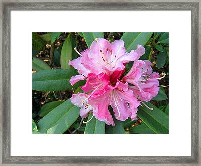 Rhododendron 3 Framed Print