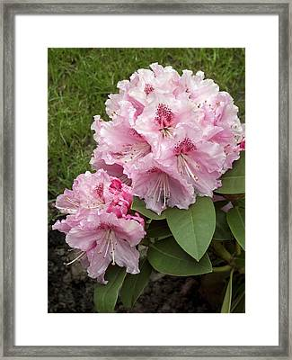 Rhododendron 'albert Schweitzer' Framed Print