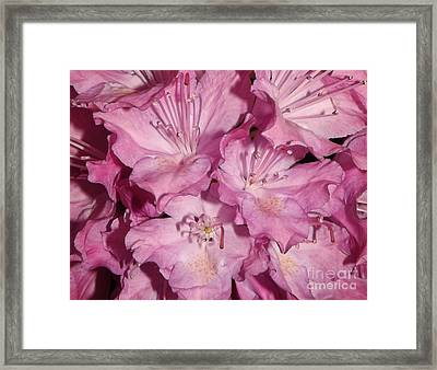 Rhododendron Bliss Framed Print