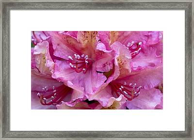 Rhododendron Brasilia Framed Print by Frank Tschakert